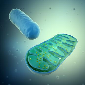 Mitochondrium -Aussenansicht und Querschnitt
