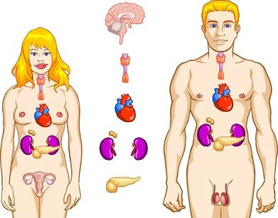 Endokrines System des Menschen
