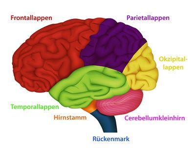 Bereiches des menschlichen Gehirns