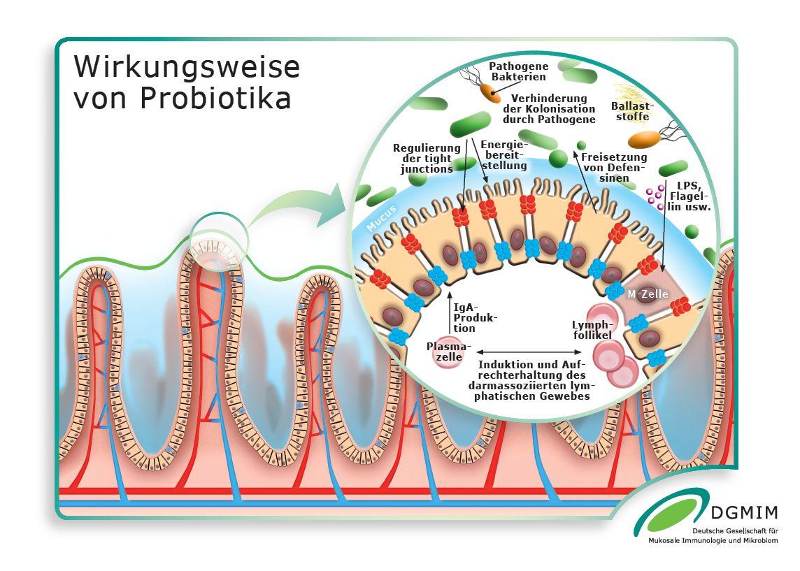 Wirkungsweise Probiotika